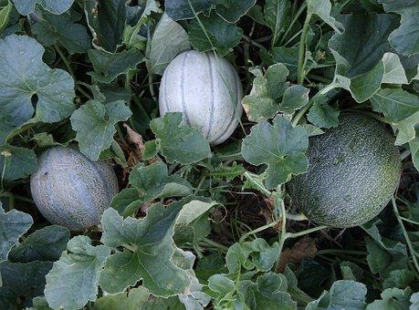Melon, Melons, Up Cantaloupe, Gaul, Orchard, Fruit