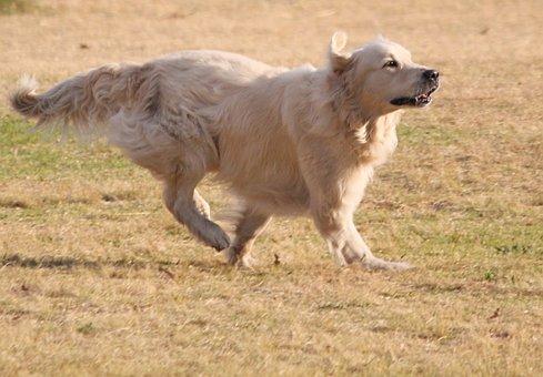 Dog, Running, Long Haired Golden Labrador, Happy
