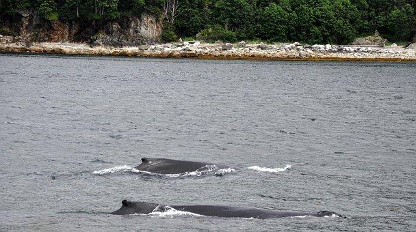 Humpback Whales, Mother And Calf, Humpback, Marine