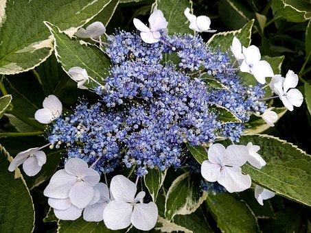 Variegated Lacecap Hydrangea, Hydrangea