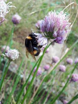Hummel, Flower, Purple, Insect, Pollen