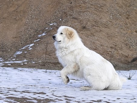 Pyrenean Mountain Dog, Jump, Movement, Animal, Dog, Out