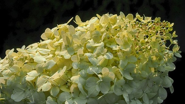 Hydrangea, Hydrangeas, Flower, Blooms, Garden, Nature