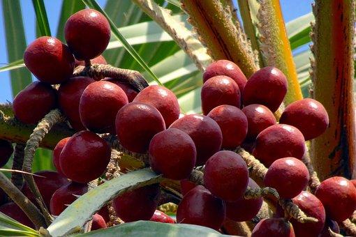 Palm, Fruit, Hokka Tree, Hyphaene Thebaica, Doum Palm