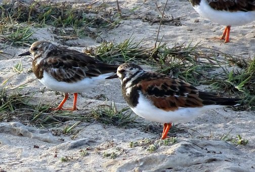 Ruddy Turnstone, Arenaria Interpres, Wading Bird