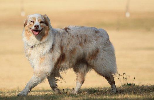 Dog, Smiling, Walking Dog, Happy, Breed, Pet, Smile