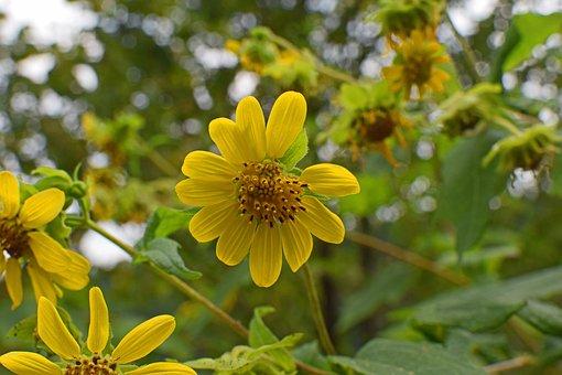Wild Sunflower, Wildflower, Sunflower, Southeast