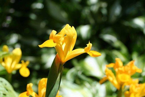 Yellow Flag Iris, Iris Pseudacorus, Green, Spring