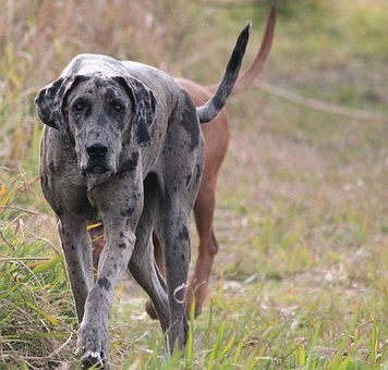 Dog, Great Dane, Purebred, Stealth, Walking, Power, Big