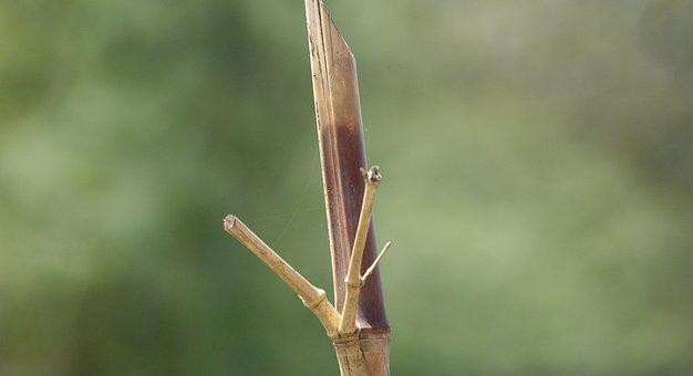 Image, Nature, Palo, Bamboo, Illustration, Armenia