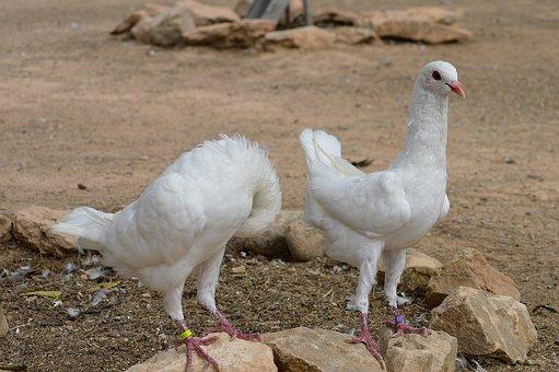 Pigeons Maltese, Pigeons, White Doves, White, Birds