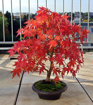 Bonsai, Maple, Autumn, Bonsai Tree, Nature, Tree