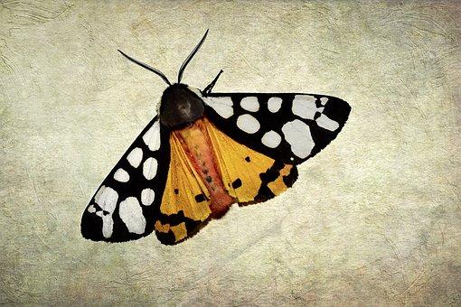 Butterfly, Moth, Tortoiseshell Farm, Arctia Villica