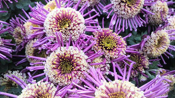Flower, Purple, Intensive, Chrysanthemum, Explosion