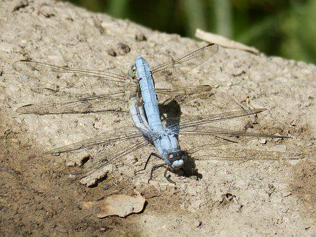 Blue Dragonfly, Couple, Mating, Copulation