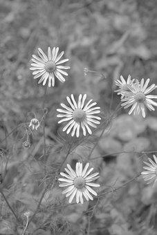 Daisies, Photo Black White, Pre, Plant, Wild Flowers