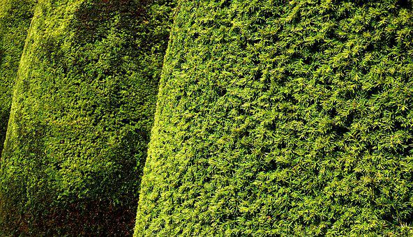 Hedge, Topiary, Yew, Leaves, Foliage, Texture, Green