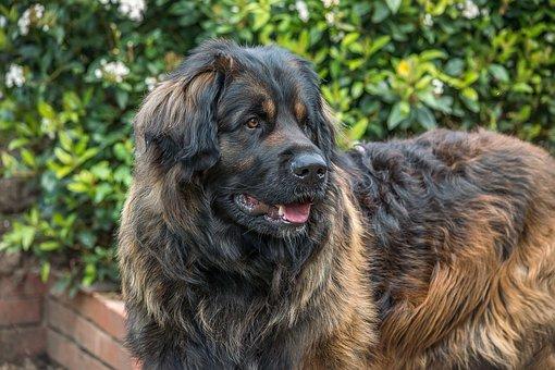 Dog, Leonberger, Giant, Pedigree, Purebred, Animal