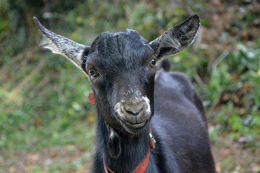 Kid, Goat, Portrait, Domestic Animal, Herbivore