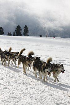 Huskies, Sport, Snow, Race, Pet Rudel, Nature, Team