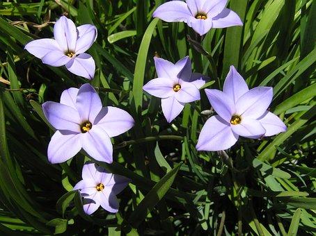 Mauve, Bulb, Flowers