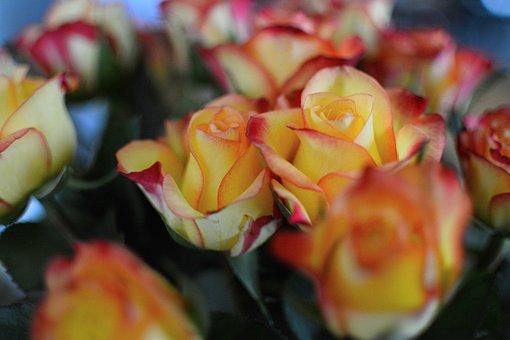 Roses, Yellow, Yellow Rose, Rosebush, Orange
