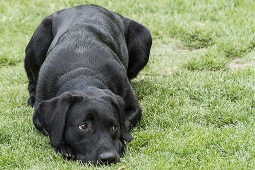 Labrador, Retriever, Puppy, Dog, Lab, Black, Canine