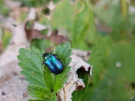 Chrysolina Coerulans, Sky-blue Leaf Beetle, Beetle