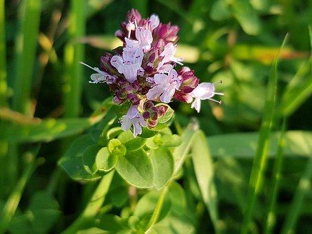 Dost, Origanum, Lamiaceae, Spice, Kitchen Herb, Herb