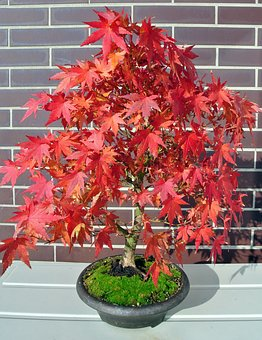 Bonsai, Maple, Fall Foliage, Tree, Bonsai Tree, Nature