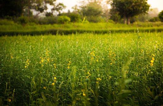 Rice, Flowers, Beauty, Nature, Summer, Yellow Flowers