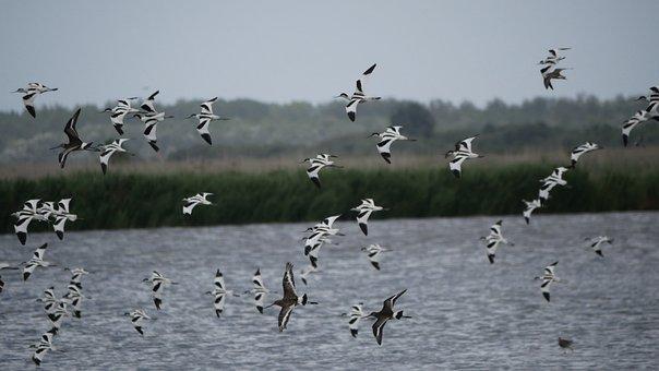 Avocet, Microdrile, Wader, North Sea, Birds, Waders
