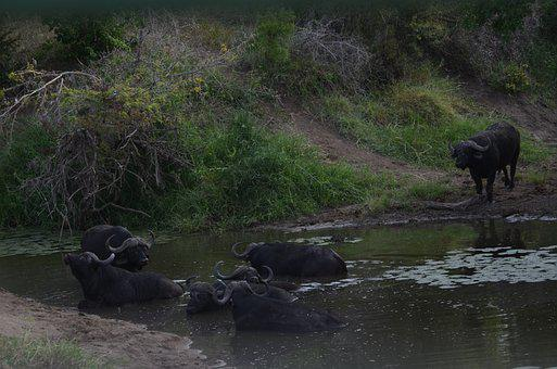 Buffalo, Dagga Bulls, Cape Buffalo, Safari, Africa