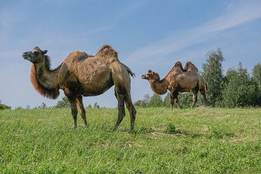Camel, Wild Bactrian Camels, Camels, Circus Animals