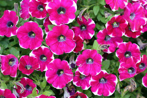 Petunias, Flowers, Plant, Garden, Nature, Flowering
