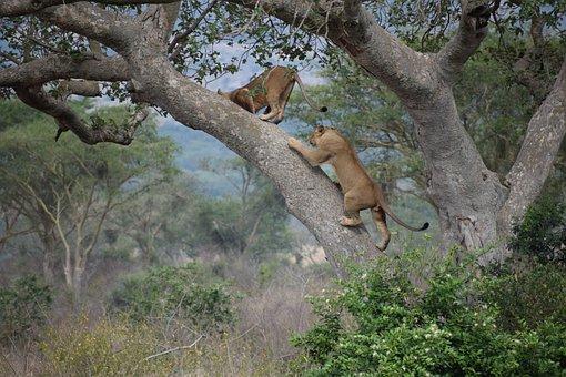 Ishasha, Tree, Climbing, Lion, Africa, Park, Uganda