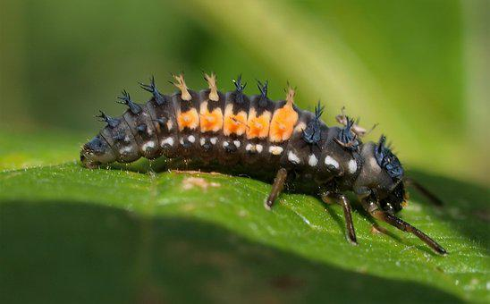 Insect, Nature, Ladybird, Larvae
