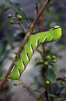 Legustersværmer, Moth, Larvae