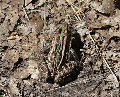 Lithobates Pipiens, Rana Pipiens, Frog