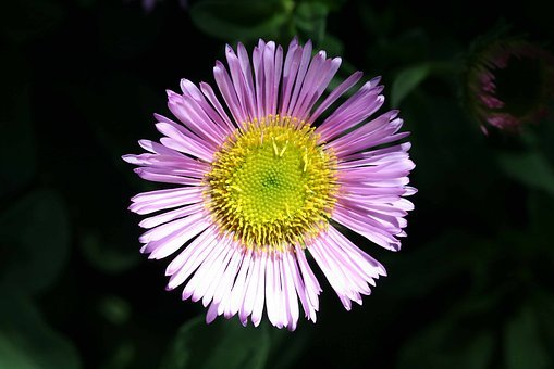 Mexican Daisy, Erigeron Karvinskianus