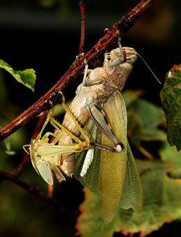Grasshopper, Moulting, Shedding, Wings, Big, Insect