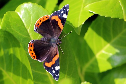 Butterfly, Admiral, Insect, Nature, Edelfalter, Animal
