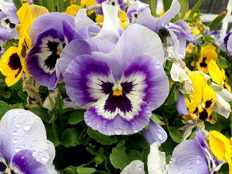 Pansy, Flowers, Colorful, Close, Blossom, Bloom, Nature