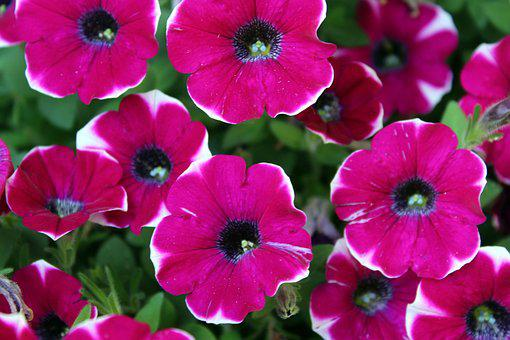 Petunias, Flowers, Plants, Nature, A Garden Plant