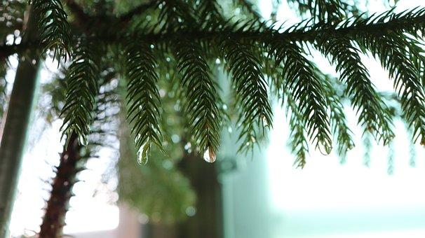 Pine, Tree, Sharp, Green, Water, Rain, Drop, Waterdrop