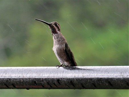 Humming Bird, Rain, Tropical Bird