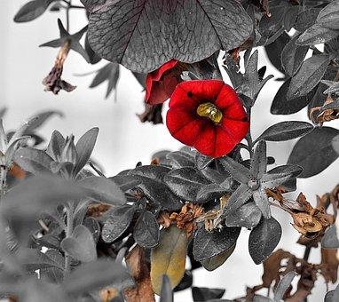 Nachtschattengewächs, Red, Calibrachoa