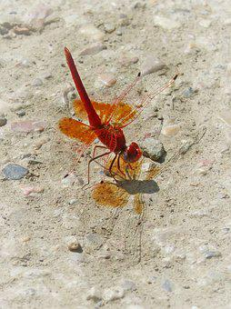 Red Dragonfly, Trithemis Kirbyi, Pipe Gilded, Dragonfly