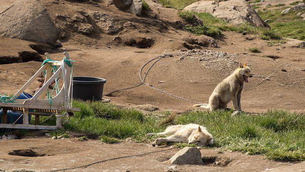 Dog, Sled Dog, Greenland, Summer, Animal, Greenland Dog