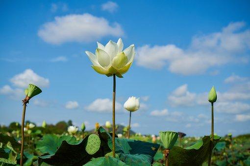Lotus, Flower, Beauty, Spring, Macro, Color, Flowers